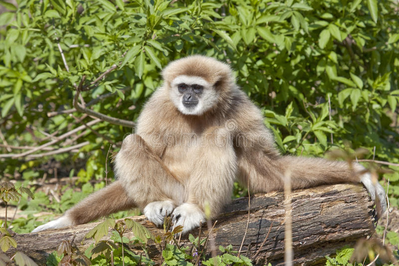 Lar gibbon royalty free stock photo