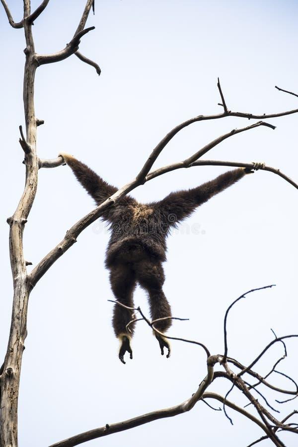 Lar Gibbon fotografia de stock royalty free