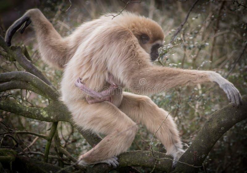 Lar Gibbon imagen de archivo