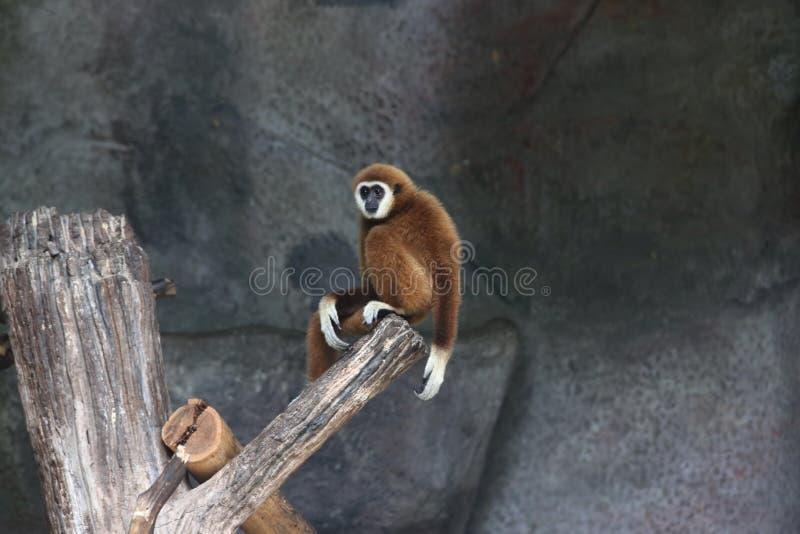 Lar Gibbon obrazy stock