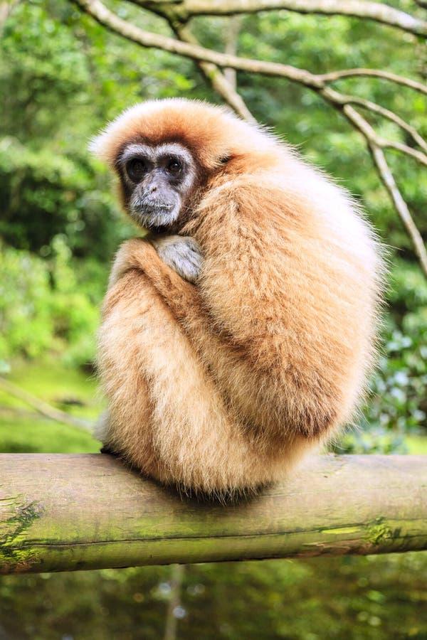 Lar Gibbon obrazy royalty free