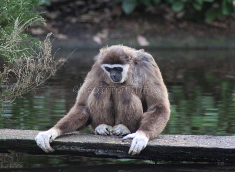 Lar Gibbon zdjęcie royalty free