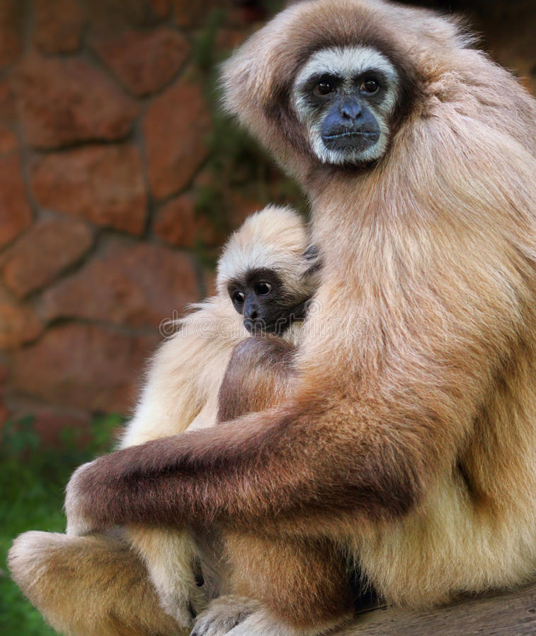 Lar gibbon stock photography