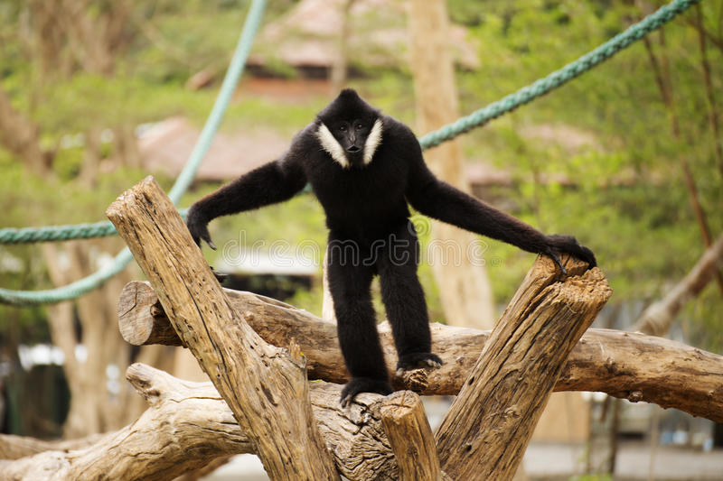 Lar gibbon. Black cheeked gibbon or Lar gibbon walking stock photo
