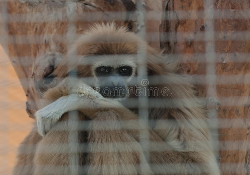 Lar gibbon captive in a zoo. Lar gibbon (Hylobates lar) in a zoo cage, Abu Dhabi, UAE royalty free stock photos