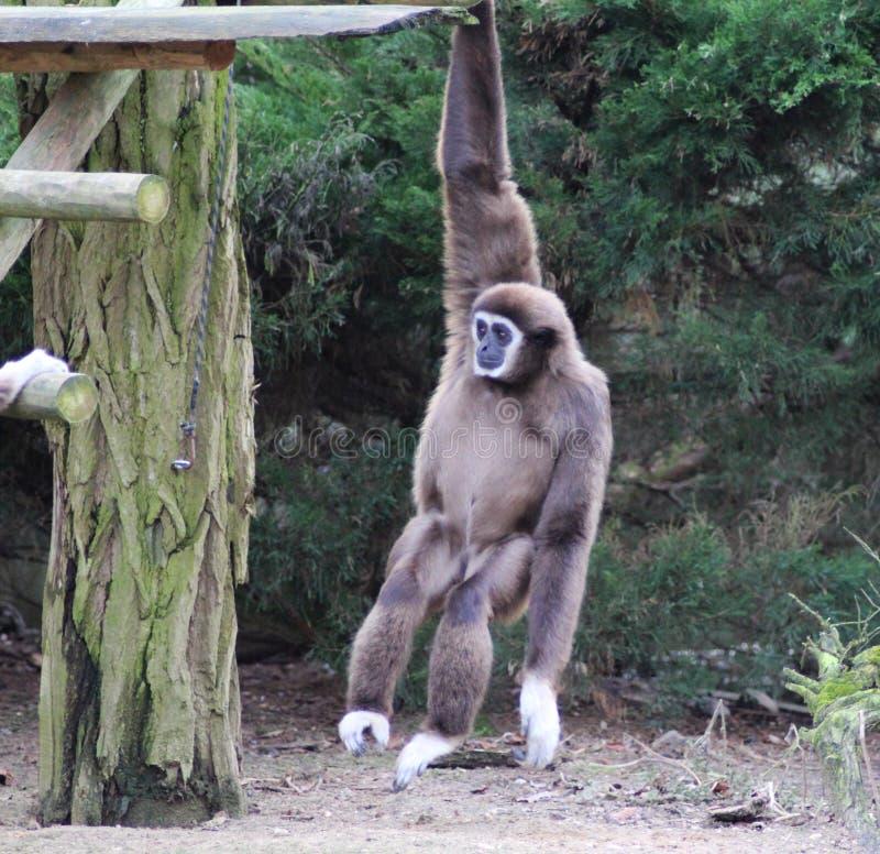 Lar gibbon climbing. Lar gibbon slinging from tree to tree. Foto taken in Ouwehands zoo in Rhenen royalty free stock photography