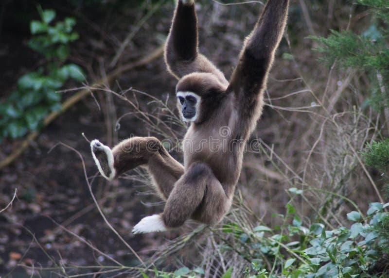 Lar gibbon climbing. Lar gibbon slinging from tree to tree. Foto taken in Ouwehands zoo in Rhenen stock photos