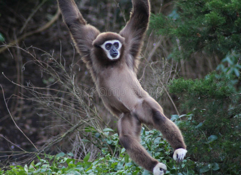 Lar gibbon climbing. Lar gibbon slinging from tree to tree. Foto taken in Ouwehands zoo in Rhenen royalty free stock photo