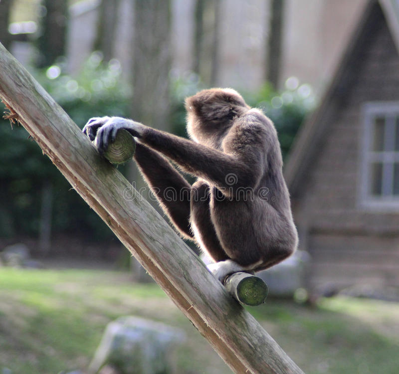Lar gibbon climbing. Lar gibbon slinging from tree to tree. Foto taken in Ouwehands zoo in Rhenen royalty free stock images