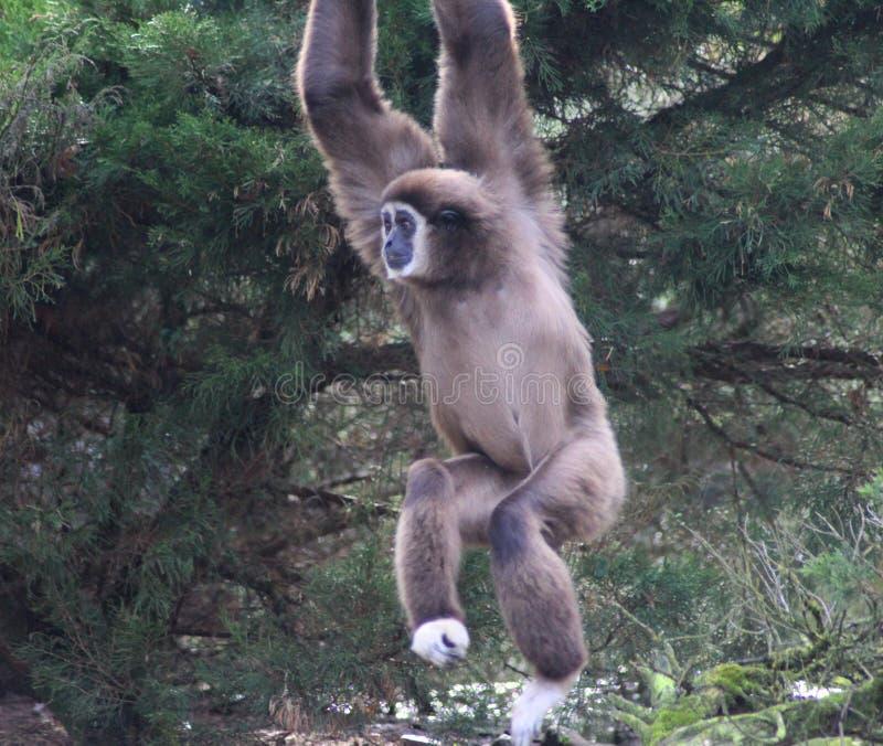 Lar gibbon climbing. Lar gibbon slinging from tree to tree. Foto taken in Ouwehands zoo in Rhenen stock images