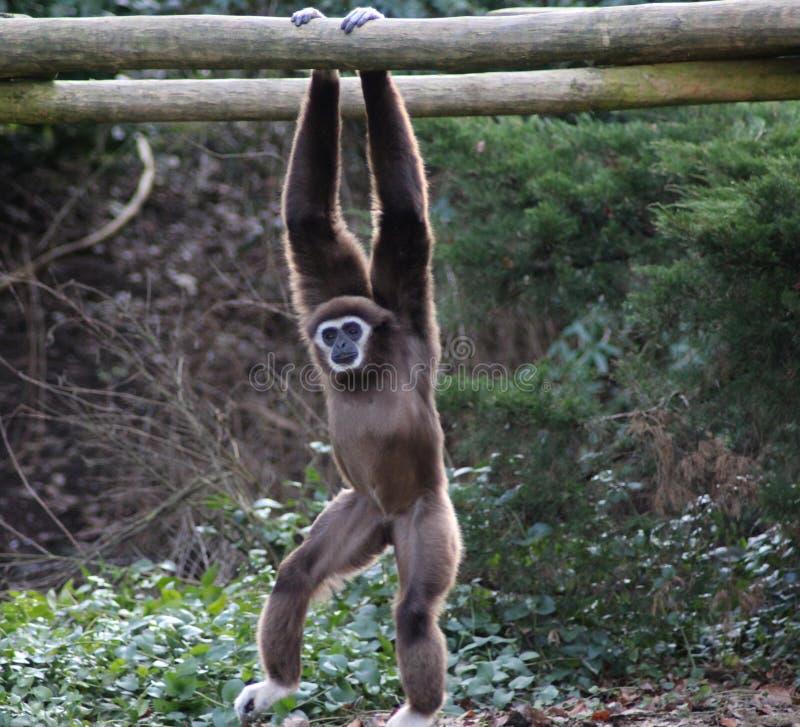 Lar gibbon climbing. Lar gibbon slinging from tree to tree. Foto taken in Ouwehands zoo in Rhenen stock image