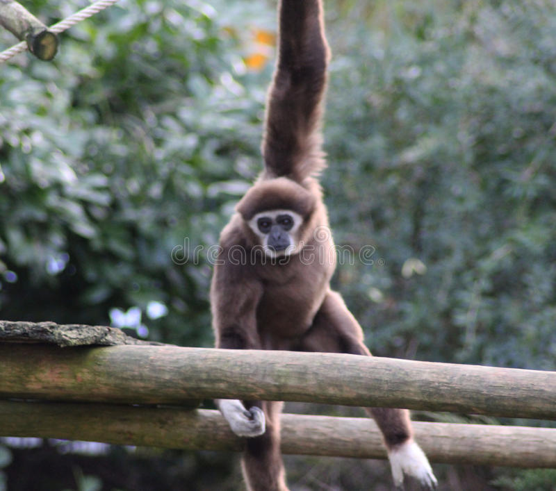 Lar gibbon climbing. Lar gibbon slinging from tree to tree. Foto taken in Ouwehands zoo in Rhenen stock photography