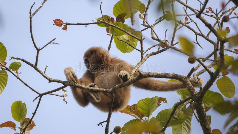 Lar Gibbon Collecting Fruit stock foto