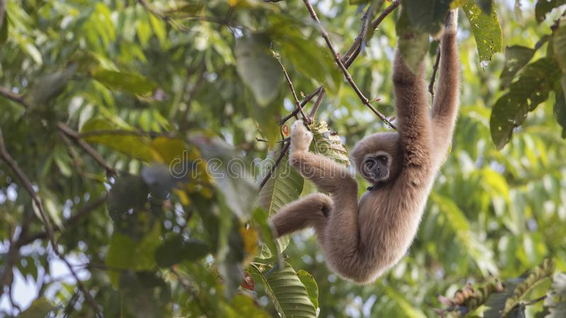 Lar Gibbon Hanging Down From-Boom royalty-vrije stock foto's