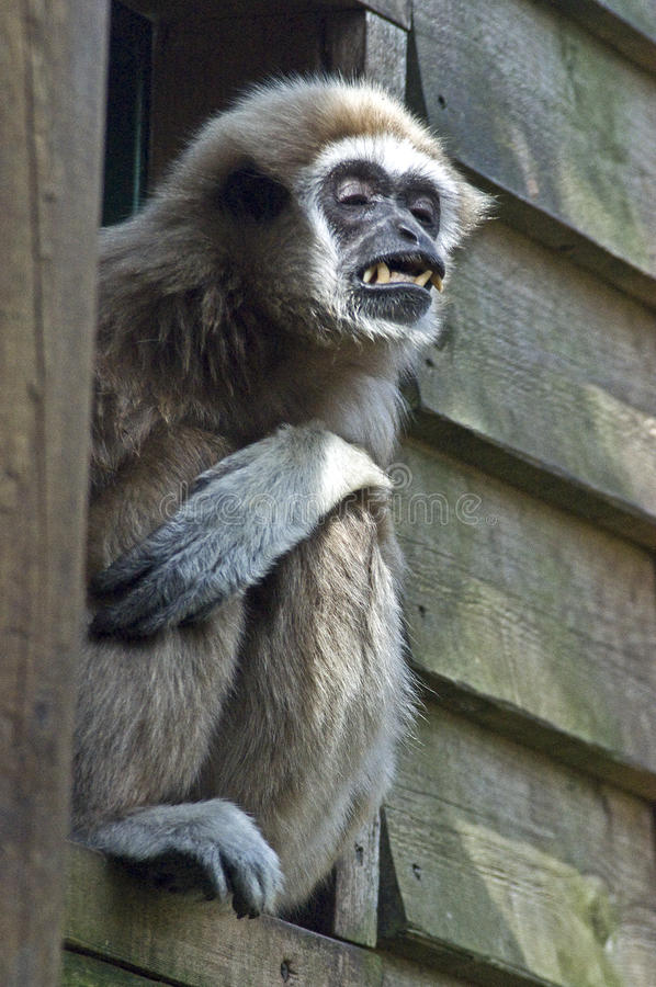 Download Lar Gibbon stock photo. Image of teeth, gibbons, asia - 39506056