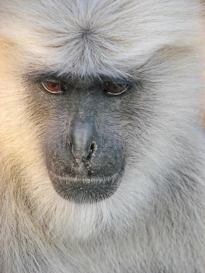 Lar gibbon Hylobates lar, also known as the white-handed gibbon, is an endangered primate in the gibbon family. stock photography