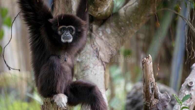 Lar Gibbon jest odpoczynkowy na gałąź przy lasowym Dzikim Hylobates Lar zdjęcia stock