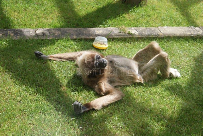 Lar Gibbon - lar do Hylobates imagens de stock royalty free