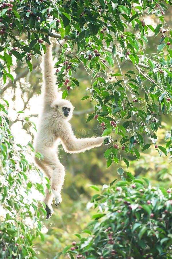 Lar Gibbon lub Wręczający Gibbon karmienie na figi drzewie, kolorowe dojrzałe owoc figa w sezonie, zima ranek Khao Yai, zdjęcia royalty free