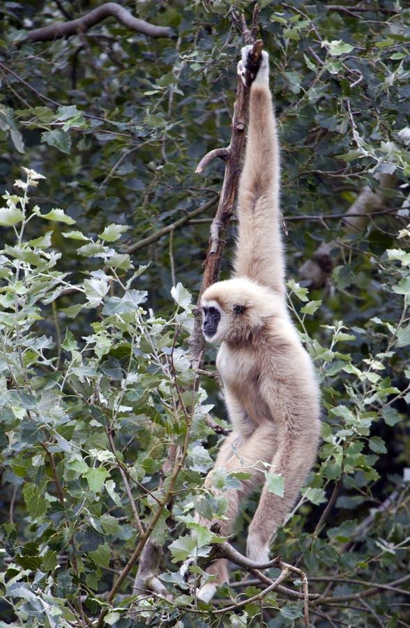 Lar Gibbon na árvore imagens de stock royalty free