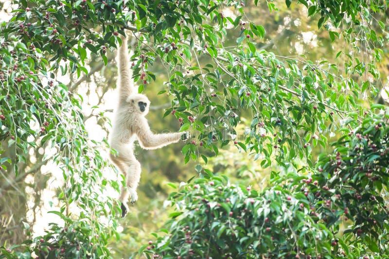 Lar Gibbon ou Gibbon Branco-entregue que alimentam na árvore de figos, frutos maduros coloridos do figo na estação, manhã do inve imagem de stock
