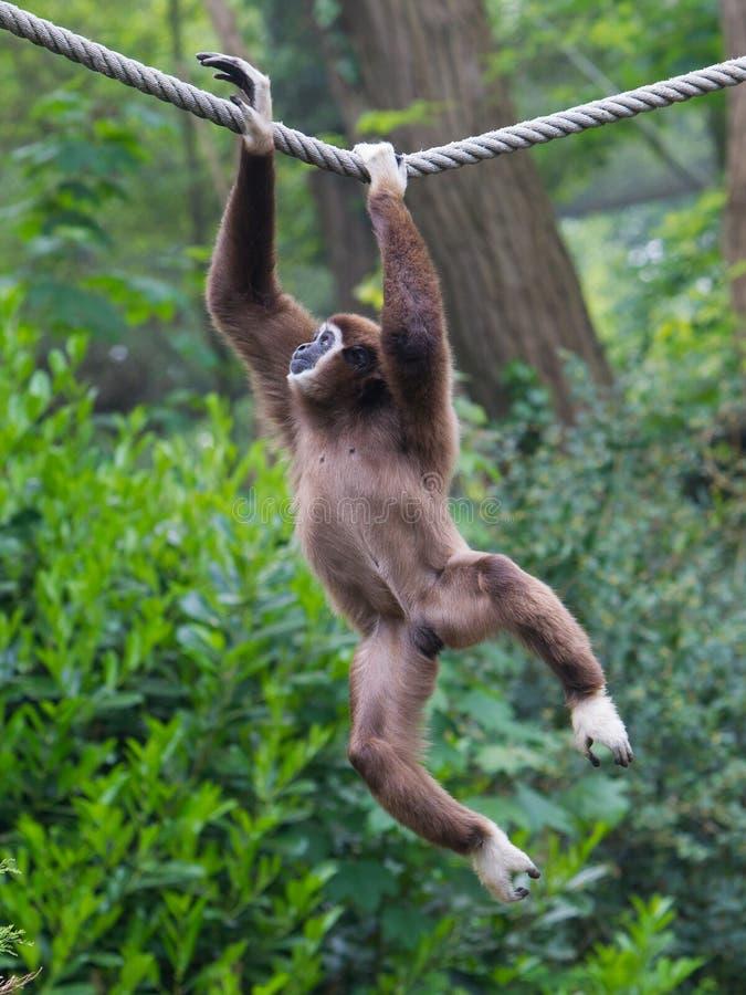 Lar Gibbon, ou um gibão entregue branco foto de stock royalty free