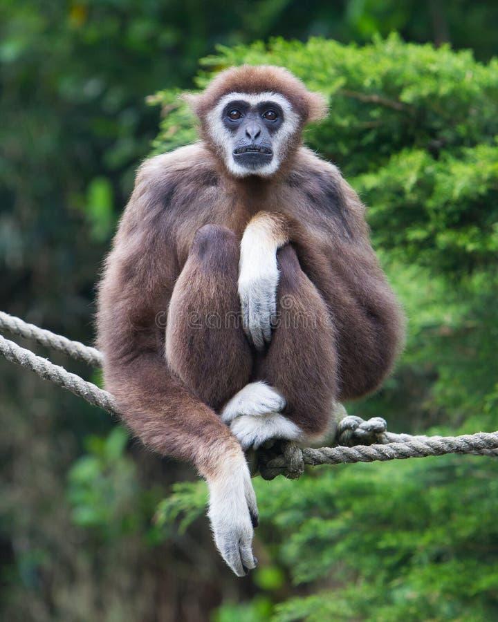 Lar Gibbon, ou um gibão entregue branco imagem de stock royalty free