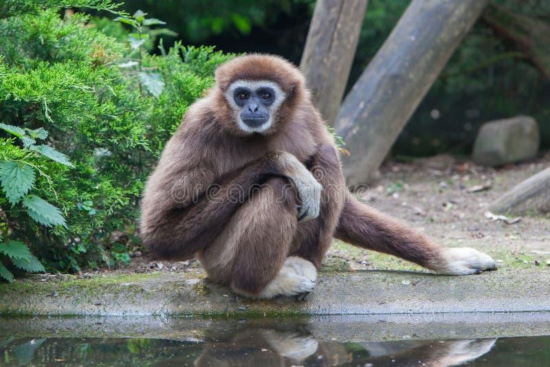 Lar Gibbon, ou um gibão entregue branco fotografia de stock royalty free