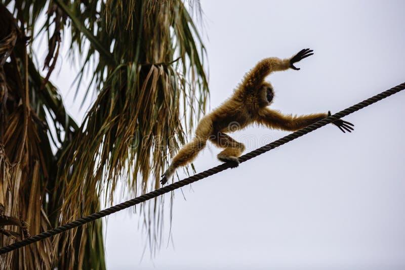 Lar Gibbon, ou um lar entregue branco do Hylobates do gibão jogam na foto de stock royalty free