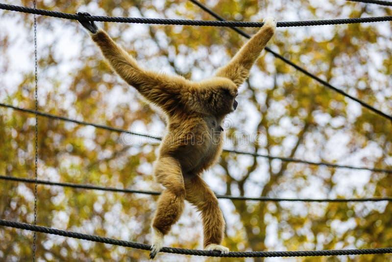 Lar Gibbon, ou um lar entregue branco do Hylobates do gibão jogam na fotos de stock royalty free