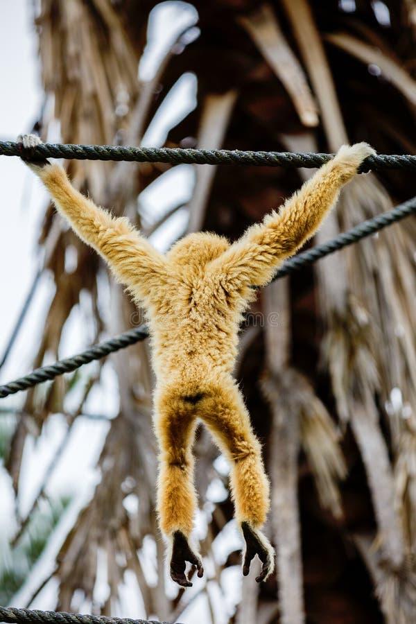 Lar Gibbon, ou um lar entregue branco do Hylobates do gibão jogam na fotos de stock