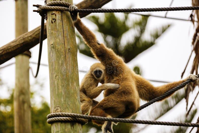 Lar Gibbon, ou um lar entregue branco do Hylobates do gibão jogam na imagem de stock