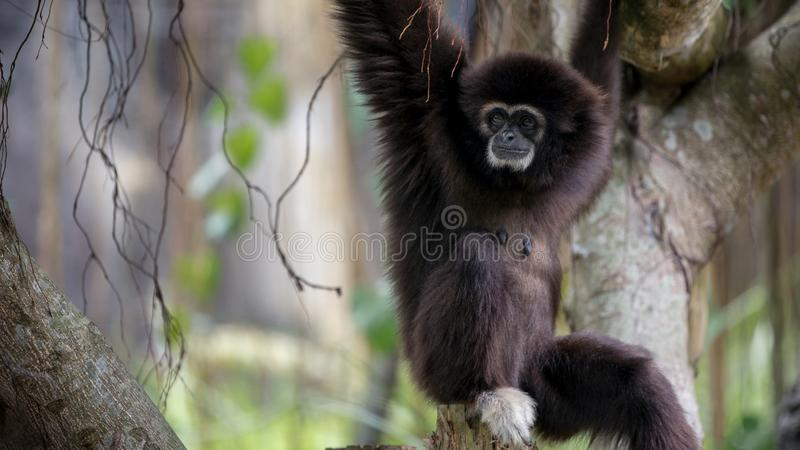 Lar Gibbon se repose sur des branches d'arbre au Lar sauvage de Hylobates de forêt image stock