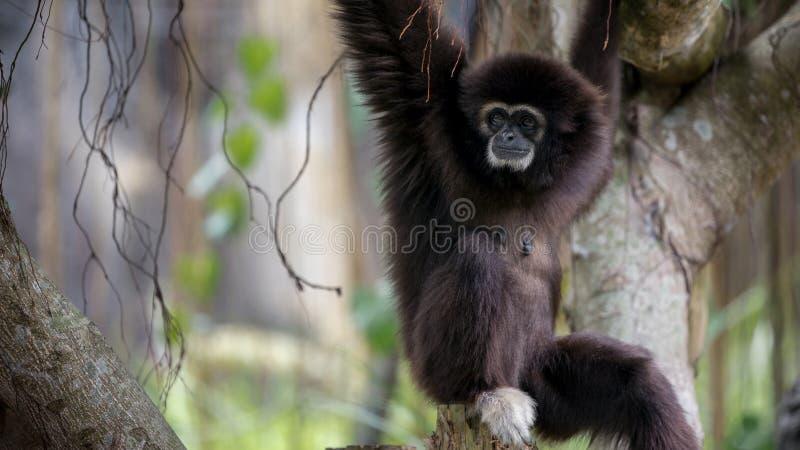 Lar Gibbon vilar på trädfilialer på den lösa Hylobateslaren för skogen fotografering för bildbyråer