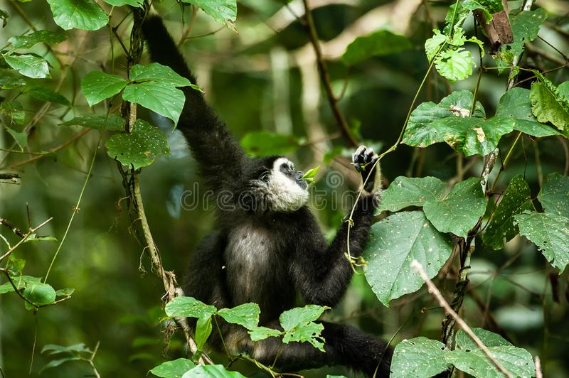 A Lar Gibbon or White-handed Gibbon feeding vine leaf in the branches of tropical trees, rainy day. Khao Yai National Park, stock images