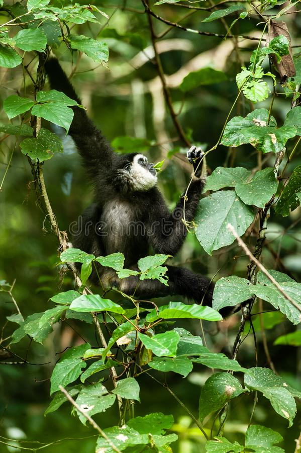 A Lar Gibbon or White-handed Gibbon feeding vine leaf in the branches of tropical trees, rainy day. Khao Yai National Park, royalty free stock photos