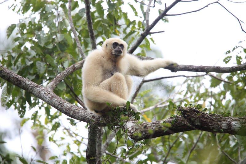 Lar gibbon or white-handed gibbon stock images