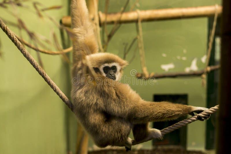 Lar Gibbon/wręczał Gibbon (Hylobates lar) obrazy royalty free