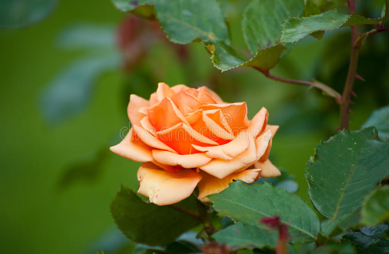 A laranja aumentou, classifica Cheshire Regiment imagens de stock royalty free