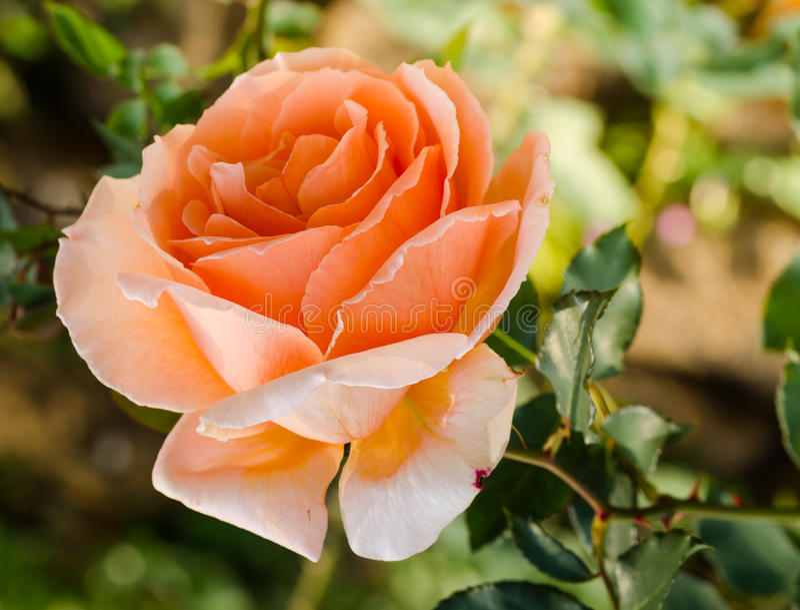 A laranja bonita aumentou em um jardim imagens de stock