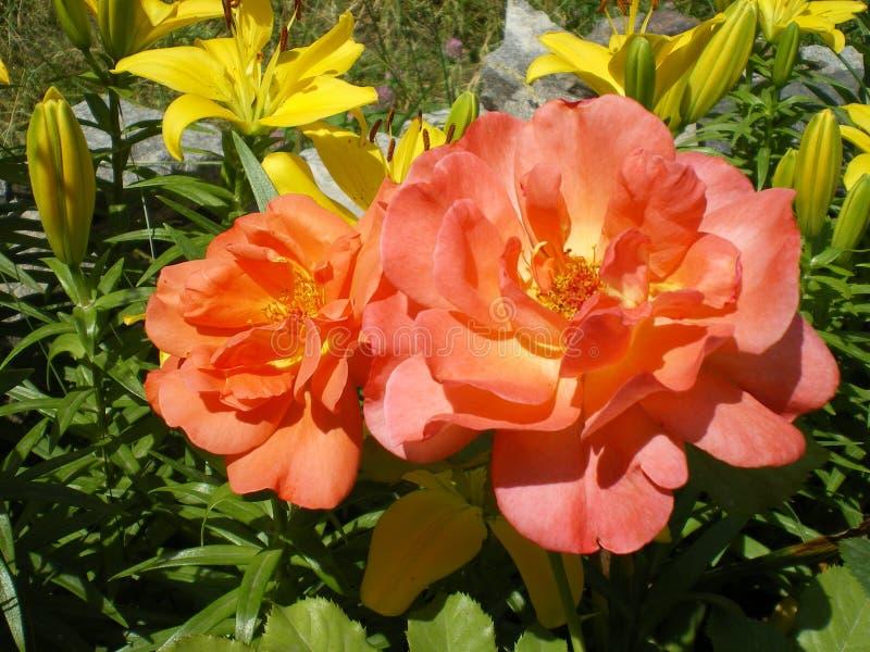 A laranja bonita aumentou variedade de Westerland que floresce no verão no fim do jardim acima fotos de stock