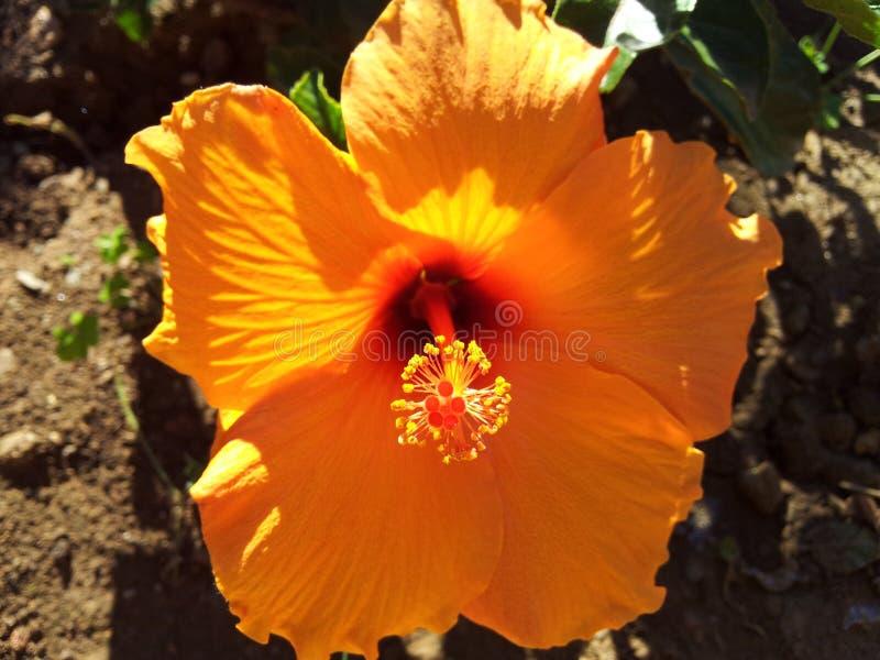 Laranja da flor imagem de stock royalty free