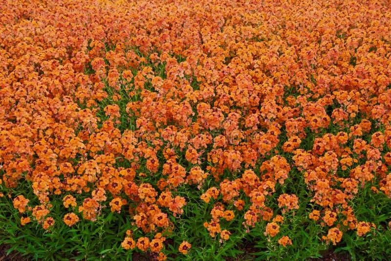Laranja das flores fotografia de stock royalty free