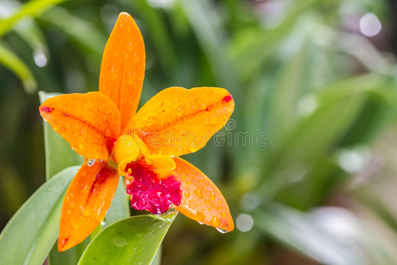 Laranja de Cattleya fotografia de stock