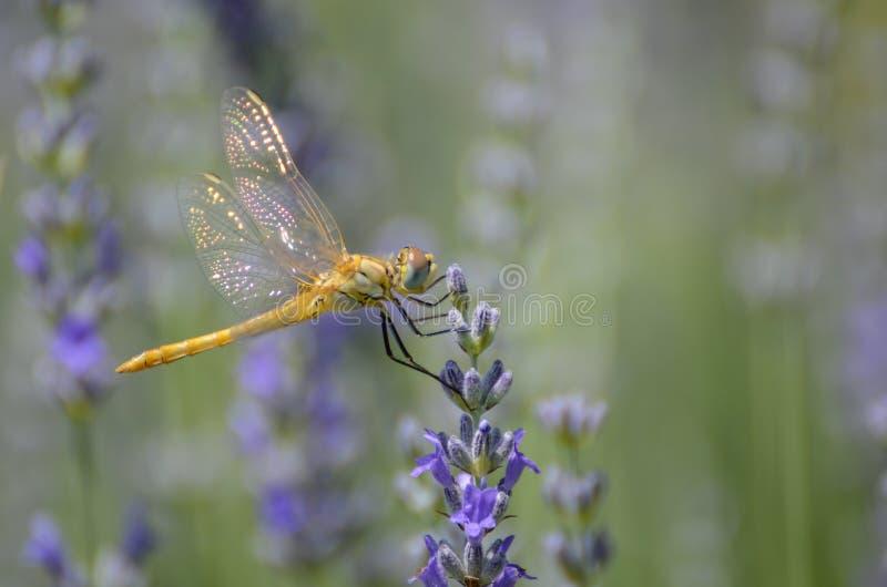 A laranja empoleirou-se ragonfly em uma alfazema, fim acima, detalhe das asas foto de stock