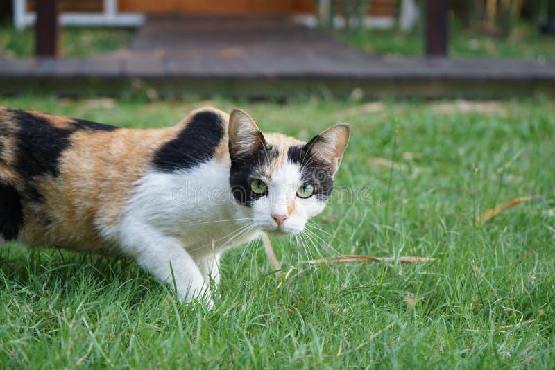 A laranja fêmea de três cores, branco, preta em suas lãs é olhar fixo e suporte no campo de grama fotografia de stock