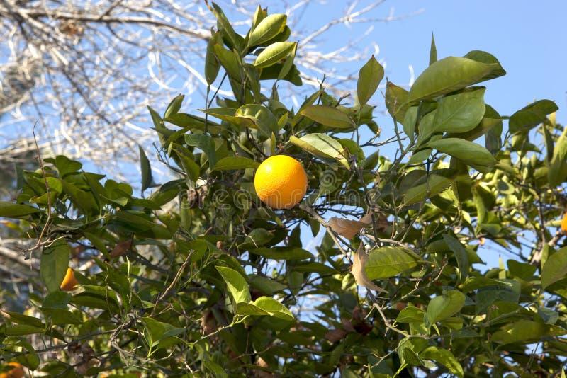 Download Árvore alaranjada foto de stock. Imagem de agricultura - 29839114