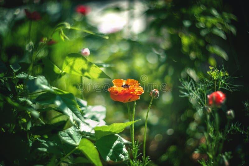 A laranja pequena floresce o ranúnculo em um fundo artístico bonito em um dia ensolarado buttercup wallpaper imagem de stock royalty free
