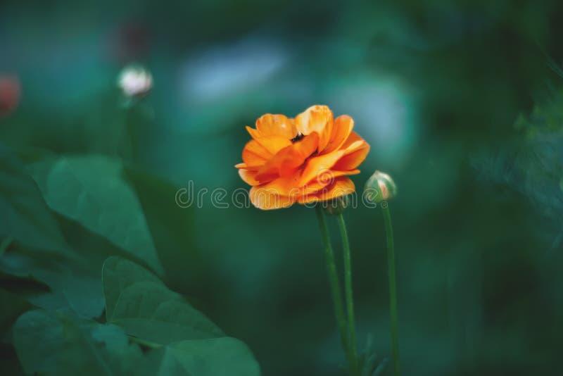 A laranja pequena floresce o ranúnculo em um fundo artístico bonito em um dia ensolarado buttercup wallpaper foto de stock royalty free