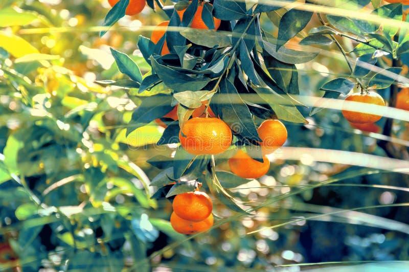 Laranjas brilhantes que crescem fora em uma árvore fotografia de stock royalty free